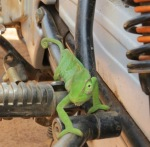 The cameleon that welcomed us to the birth house
